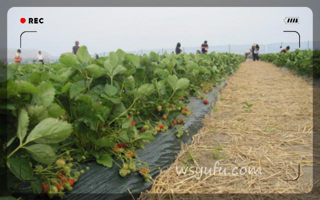 イチゴ狩り札幌近郊おすすめスポット