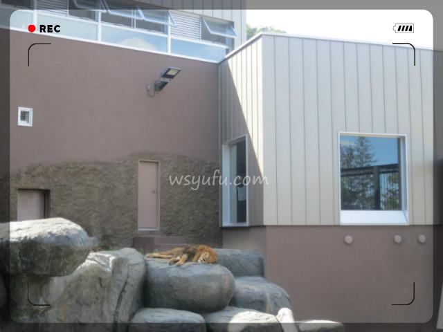円山動物園アフリカゾーンライオン