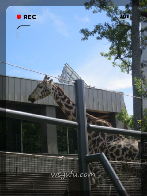 円山動物園アフリカゾーンキリン