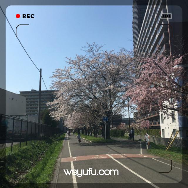 白石こころーど(白石サイクリングロード)札幌の桜名所