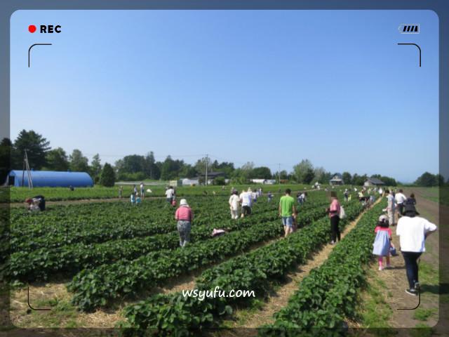 花茶農園 いちご狩り 札幌近郊