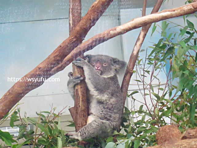 台湾旅行 子連れ 台北市立動物園 コアラ